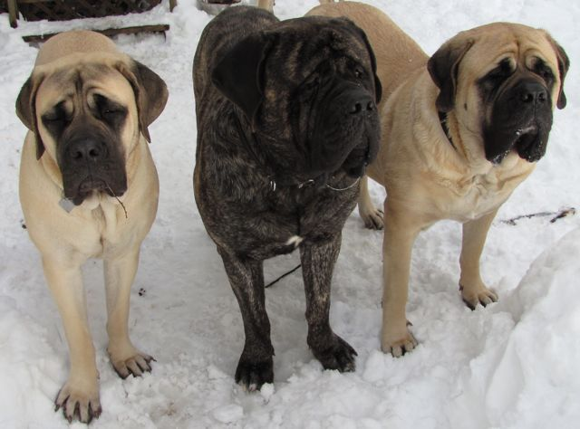 American mastiff puppies for sale near me